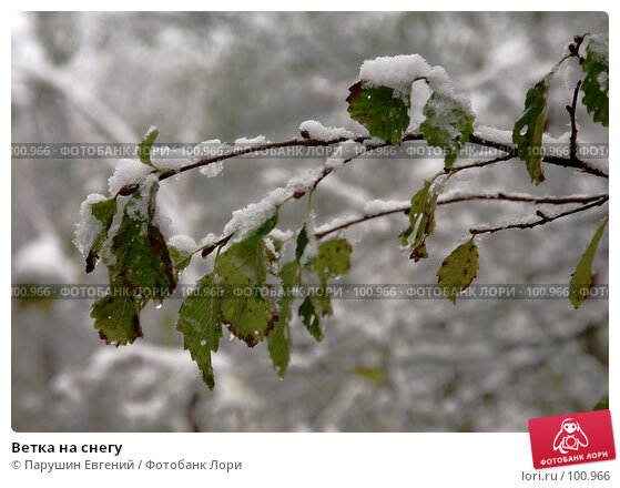 Купить «Ветка на снегу», фото № 100966, снято 11 декабря 2017 г. (c) Парушин Евгений / Фотобанк Лори