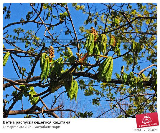 Купить «Ветка распускающегося каштана», фото № 170094, снято 6 мая 2007 г. (c) Маргарита Лир / Фотобанк Лори