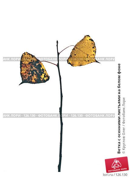 Купить «Ветка с осенними листьями на белом фоне», фото № 126130, снято 24 апреля 2018 г. (c) Круглов Олег / Фотобанк Лори