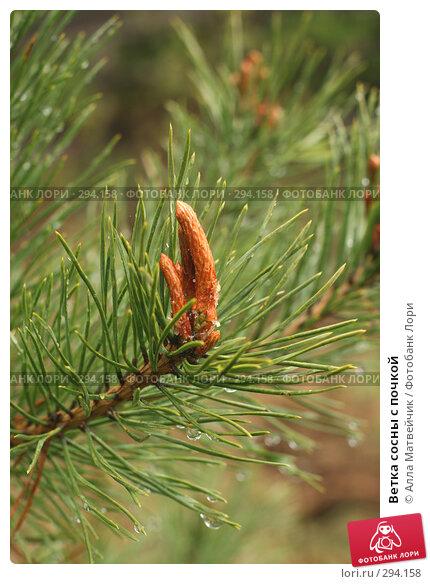 Ветка сосны с почкой, фото № 294158, снято 18 мая 2008 г. (c) Алла Матвейчик / Фотобанк Лори
