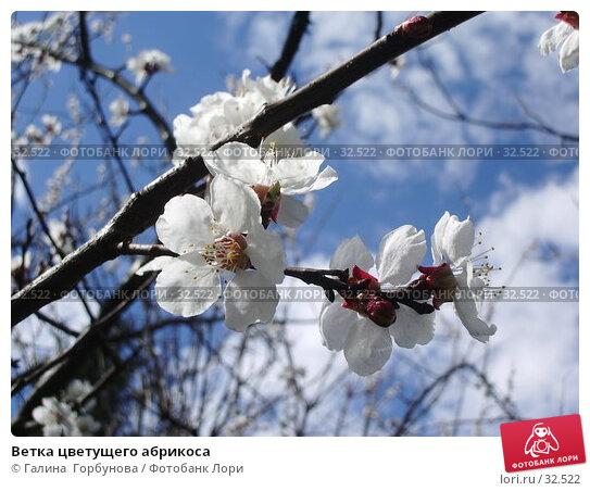 Ветка цветущего абрикоса, фото № 32522, снято 11 апреля 2006 г. (c) Галина  Горбунова / Фотобанк Лори