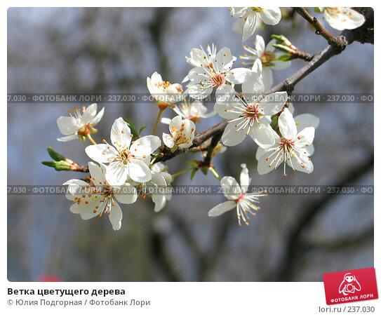 Ветка цветущего дерева, фото № 237030, снято 20 марта 2008 г. (c) Юлия Селезнева / Фотобанк Лори