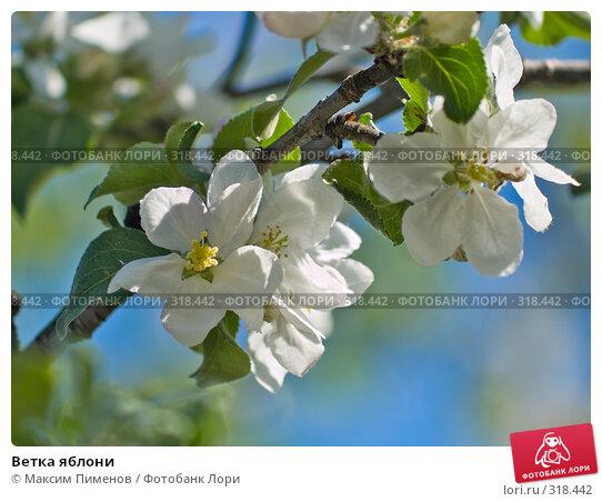 Купить «Ветка яблони», фото № 318442, снято 20 мая 2007 г. (c) Максим Пименов / Фотобанк Лори