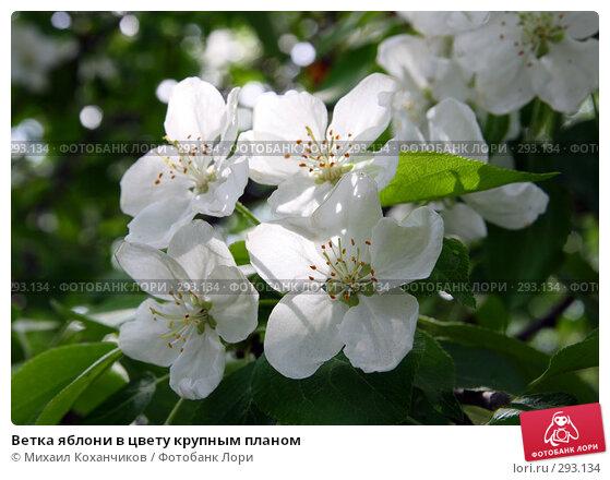 Ветка яблони в цвету крупным планом, фото № 293134, снято 17 мая 2008 г. (c) Михаил Коханчиков / Фотобанк Лори