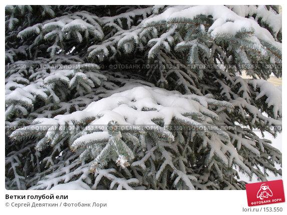 Ветки голубой ели, фото № 153550, снято 19 декабря 2007 г. (c) Сергей Девяткин / Фотобанк Лори