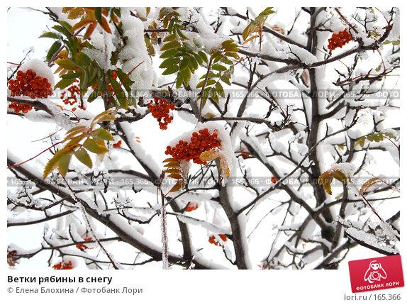 Ветки рябины в снегу, фото № 165366, снято 16 октября 2007 г. (c) Елена Блохина / Фотобанк Лори