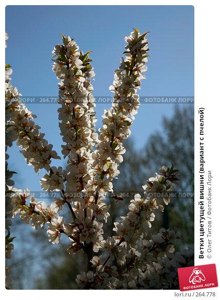 Купить «Ветки цветущей вишни (вариант с пчелой)», фото № 264778, снято 27 апреля 2008 г. (c) Олег Титов / Фотобанк Лори