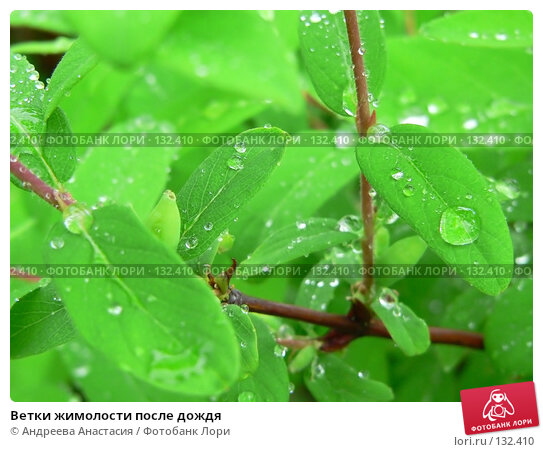 Ветки жимолости после дождя, фото № 132410, снято 27 мая 2006 г. (c) Андреева Анастасия / Фотобанк Лори
