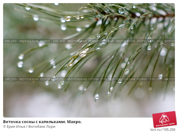 Веточка сосны с капельками. Макро., фото № 195250, снято 3 февраля 2008 г. (c) Ерин Илья / Фотобанк Лори