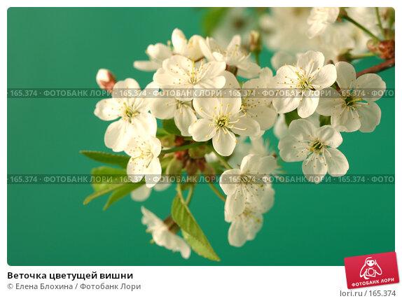 Купить «Веточка цветущей вишни», фото № 165374, снято 13 мая 2007 г. (c) Елена Блохина / Фотобанк Лори
