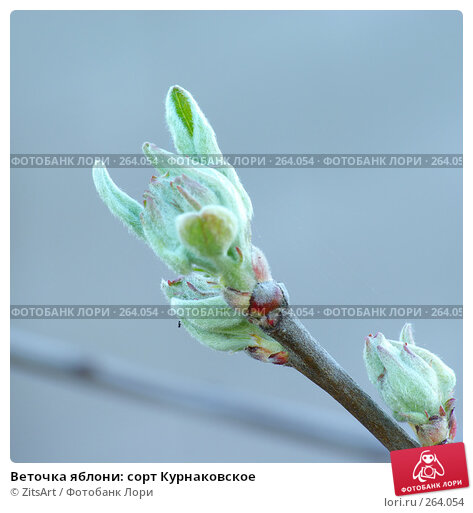 Веточка яблони: сорт Курнаковское, фото № 264054, снято 27 апреля 2008 г. (c) ZitsArt / Фотобанк Лори