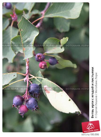 Ветвь ирги с ягодой и листьями, фото № 80006, снято 8 декабря 2007 г. (c) Сергей Лешков / Фотобанк Лори