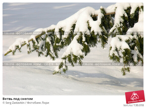 Купить «Ветвь под снегом», фото № 130018, снято 23 марта 2005 г. (c) Serg Zastavkin / Фотобанк Лори