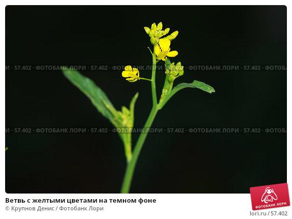 Ветвь с желтыми цветами на темном фоне, фото № 57402, снято 30 мая 2007 г. (c) Крупнов Денис / Фотобанк Лори