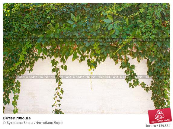 Ветви плюща, фото № 139554, снято 25 августа 2007 г. (c) Бутинова Елена / Фотобанк Лори
