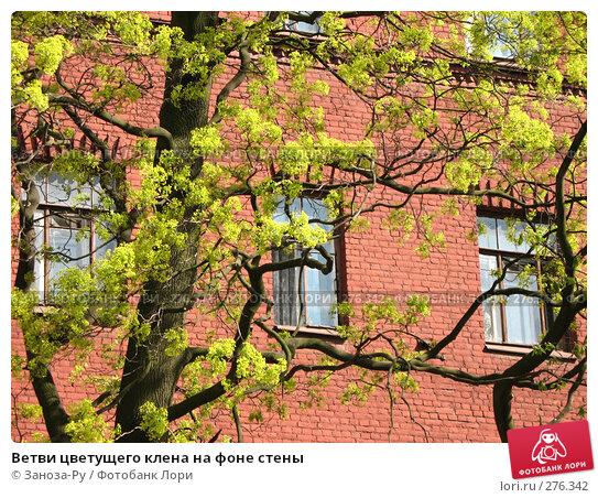 Купить «Ветви цветущего клена на фоне стены», фото № 276342, снято 2 мая 2008 г. (c) Заноза-Ру / Фотобанк Лори
