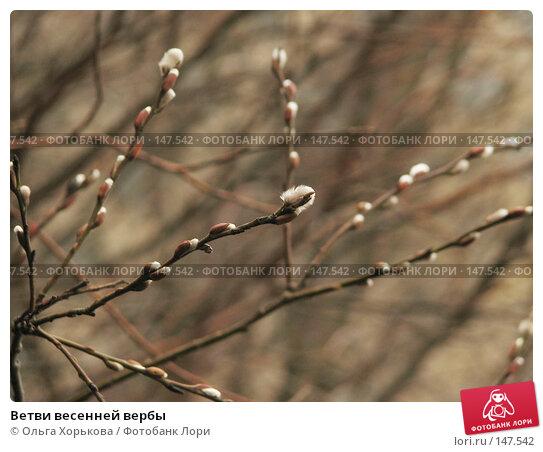 Ветви весенней вербы, фото № 147542, снято 22 марта 2007 г. (c) Ольга Хорькова / Фотобанк Лори