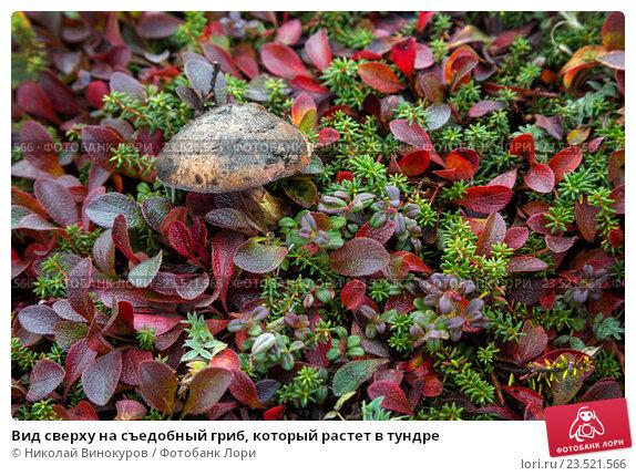 Купить «Вид сверху на съедобный гриб, который растет в тундре», фото № 23521566, снято 7 сентября 2016 г. (c) Николай Винокуров / Фотобанк Лори