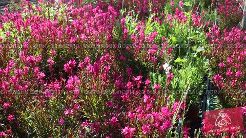 Купить «View of colorful plantation of flowers in sunny greenhouse», видеоролик № 32069410, снято 3 июня 2019 г. (c) Яков Филимонов / Фотобанк Лори