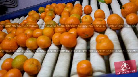 Купить «View of ripe mandarin oranges on conveyor belt of sorting production line», видеоролик № 30322782, снято 29 января 2019 г. (c) Яков Филимонов / Фотобанк Лори