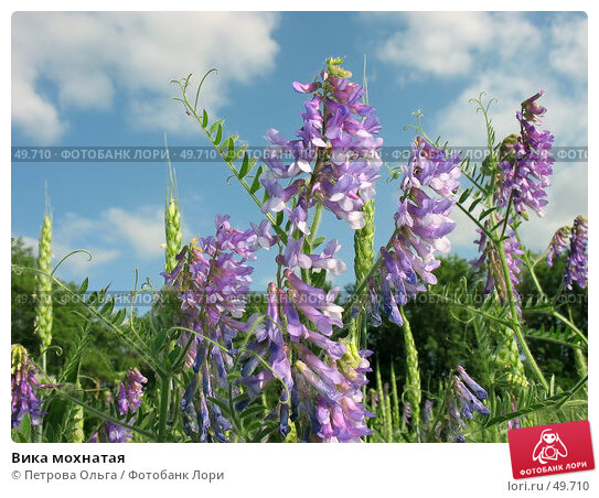 Вика мохнатая, фото № 49710, снято 2 июня 2007 г. (c) Петрова Ольга / Фотобанк Лори