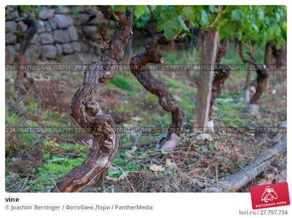 Купить «vine», фото № 27797734, снято 26 февраля 2018 г. (c) PantherMedia / Фотобанк Лори
