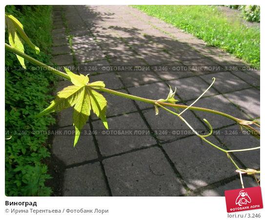 Виноград, эксклюзивное фото № 3246, снято 3 июля 2004 г. (c) Ирина Терентьева / Фотобанк Лори