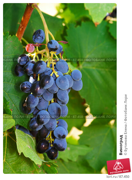 Купить «Виноград», фото № 87450, снято 24 августа 2007 г. (c) Бутинова Елена / Фотобанк Лори