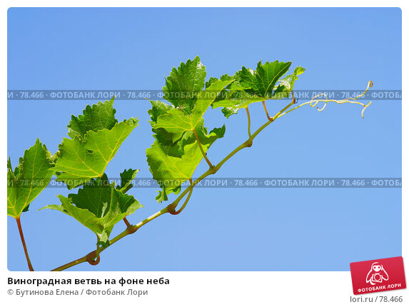 Купить «Виноградная ветвь на фоне неба», фото № 78466, снято 21 августа 2007 г. (c) Бутинова Елена / Фотобанк Лори