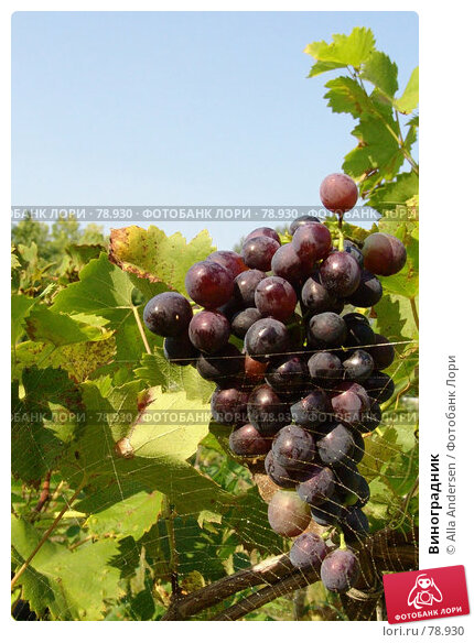 Виноградник, фото № 78930, снято 11 сентября 2005 г. (c) Alla Andersen / Фотобанк Лори