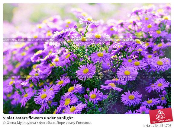 Violet asters flowers under sunlight. Стоковое фото, фотограф Olena Mykhaylova / easy Fotostock / Фотобанк Лори