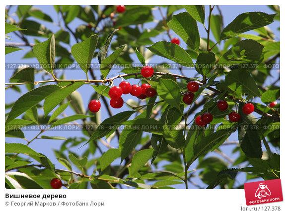 Вишневое дерево, фото № 127378, снято 26 июля 2005 г. (c) Георгий Марков / Фотобанк Лори