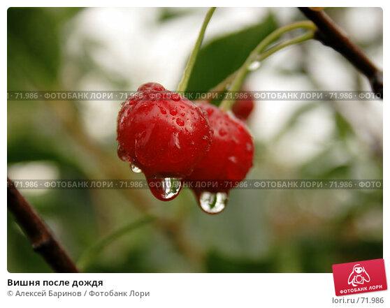 Вишня после дождя, фото № 71986, снято 29 июля 2007 г. (c) Алексей Баринов / Фотобанк Лори