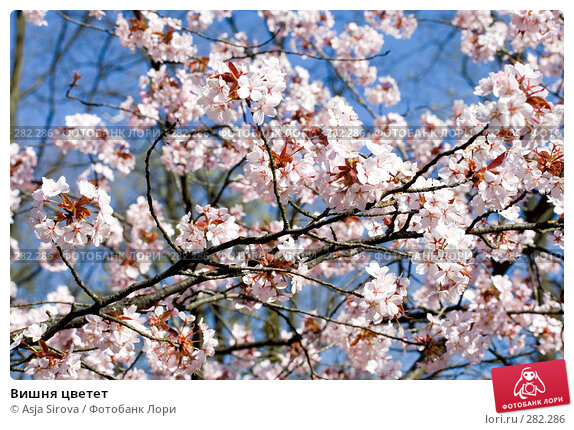 Вишня цветет, фото № 282286, снято 26 апреля 2008 г. (c) Asja Sirova / Фотобанк Лори
