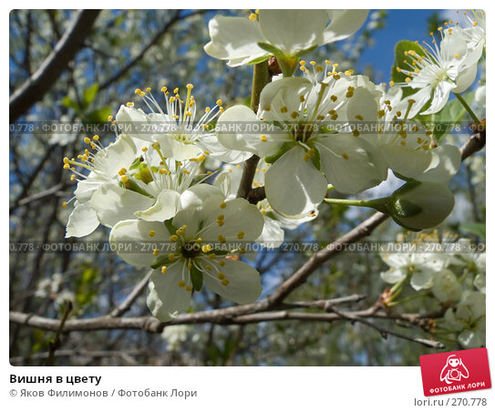 Купить «Вишня в цвету», фото № 270778, снято 1 мая 2008 г. (c) Яков Филимонов / Фотобанк Лори
