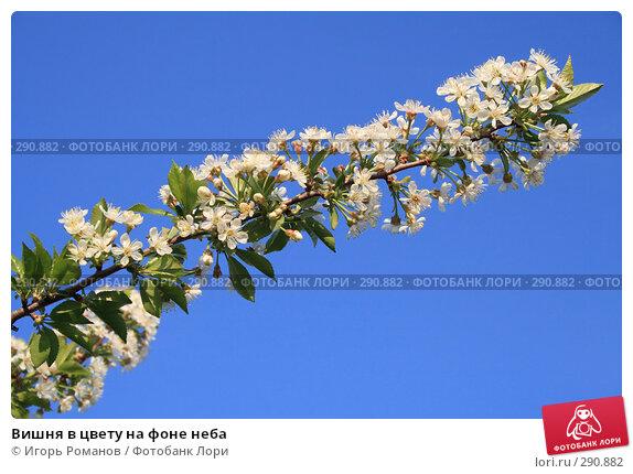 Вишня в цвету на фоне неба, фото № 290882, снято 4 мая 2008 г. (c) Игорь Романов / Фотобанк Лори