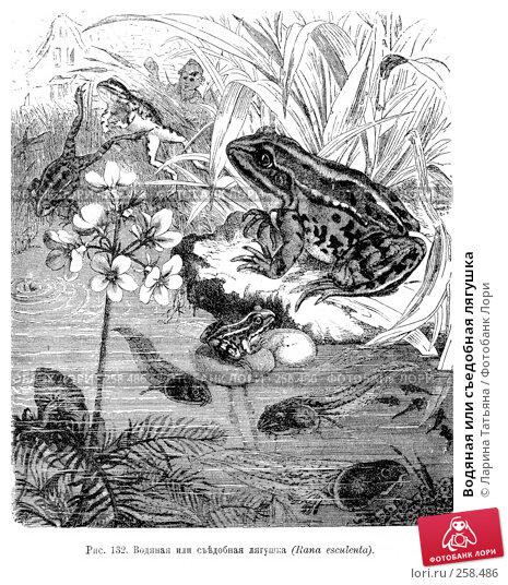 Купить «Водяная или съедобная лягушка», фото № 258486, снято 19 апреля 2018 г. (c) Ларина Татьяна / Фотобанк Лори
