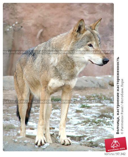 Волчица, настроение настороженность, фото № 97342, снято 5 ноября 2006 г. (c) Parmenov Pavel / Фотобанк Лори