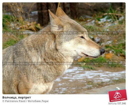 Волчица, портрет, фото № 97346, снято 5 ноября 2006 г. (c) Parmenov Pavel / Фотобанк Лори