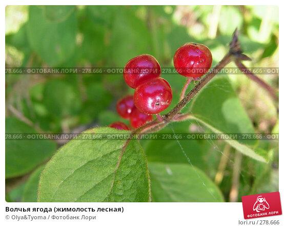 Волчья ягода (жимолость лесная), фото № 278666, снято 22 июля 2004 г. (c) Olya&Tyoma / Фотобанк Лори