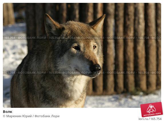 Волк, фото № 165754, снято 15 декабря 2007 г. (c) Марюнин Юрий / Фотобанк Лори