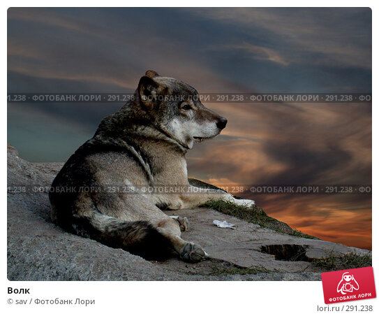 Волк, фото № 291238, снято 2 октября 2005 г. (c) sav / Фотобанк Лори