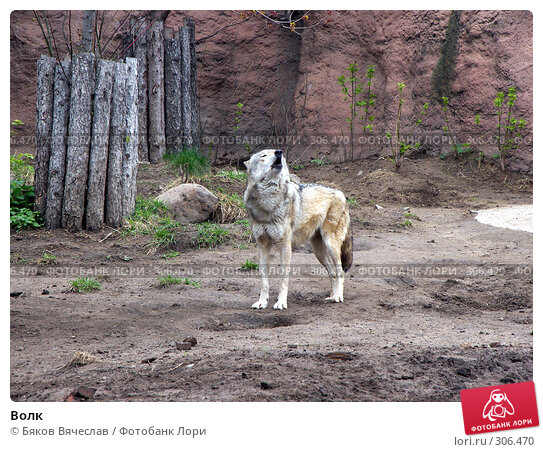Волк, фото № 306470, снято 16 апреля 2008 г. (c) Бяков Вячеслав / Фотобанк Лори