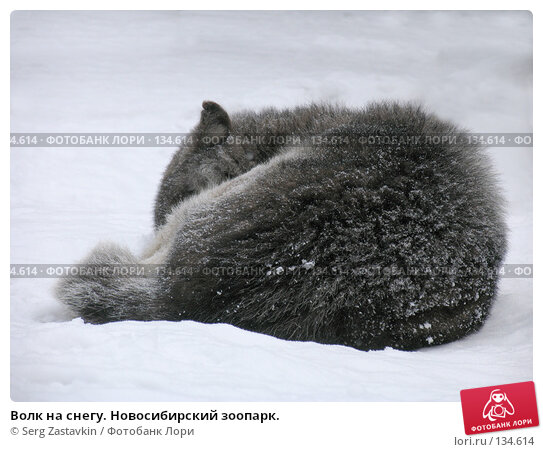 Волк на снегу. Новосибирский зоопарк., фото № 134614, снято 7 ноября 2004 г. (c) Serg Zastavkin / Фотобанк Лори