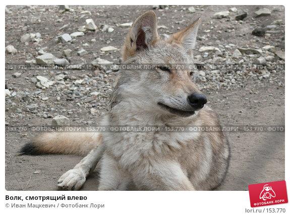 Волк, смотрящий влево, фото № 153770, снято 23 сентября 2007 г. (c) Иван Мацкевич / Фотобанк Лори