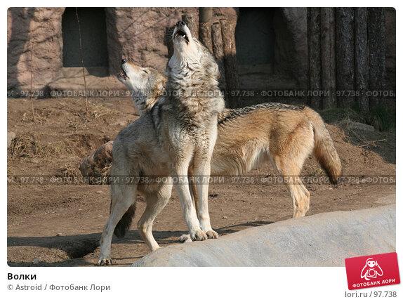 Волки, фото № 97738, снято 21 марта 2007 г. (c) Astroid / Фотобанк Лори