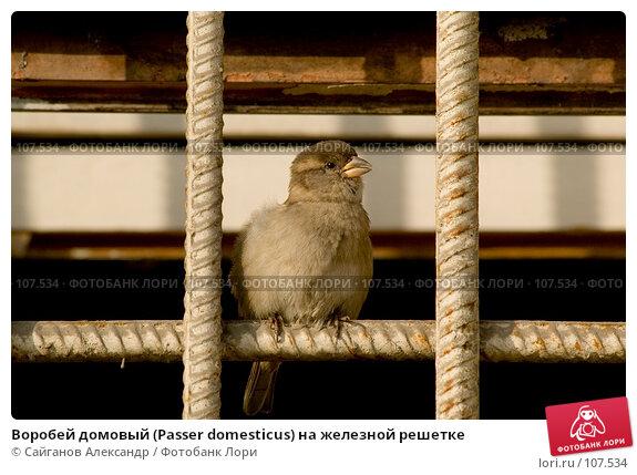 Воробей домовый (Passer domesticus) на железной решетке, эксклюзивное фото № 107534, снято 28 октября 2007 г. (c) Сайганов Александр / Фотобанк Лори