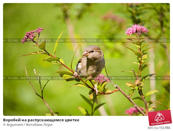Воробей на распускающемся цветке, фото № 53986, снято 14 июня 2007 г. (c) Argument / Фотобанк Лори