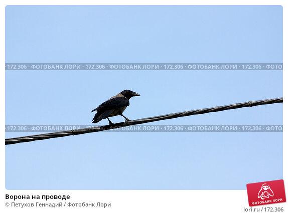 Купить «Ворона на проводе», фото № 172306, снято 29 мая 2007 г. (c) Петухов Геннадий / Фотобанк Лори