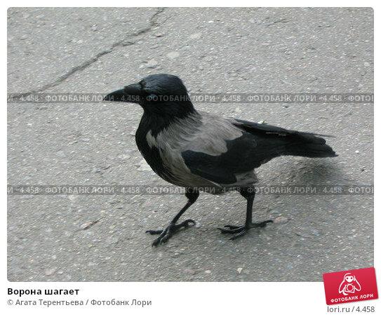 Купить «Ворона шагает», фото № 4458, снято 21 мая 2006 г. (c) Агата Терентьева / Фотобанк Лори